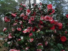 microdermx camellia oil picture 14