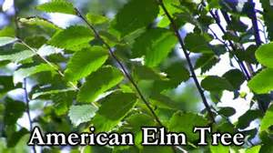 slippery elm picture 6