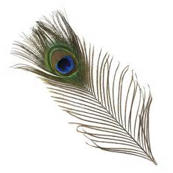 peacock feathers used as a herbal medicine picture 1