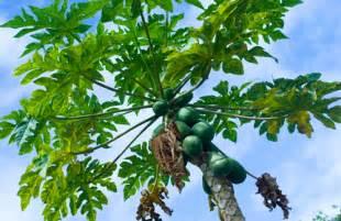 papaya leaf picture 7