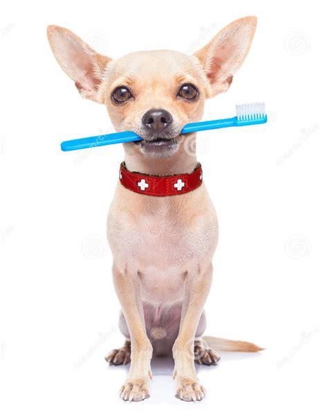 chihuahua teeth cleaning picture 7