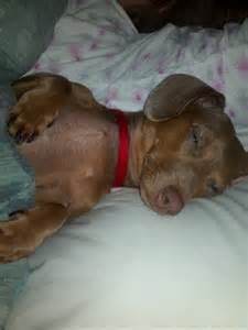 dachshund sleeping s picture 3