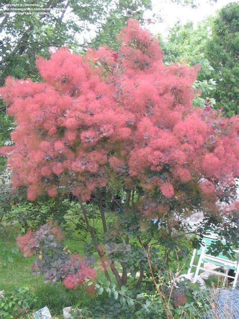 caring for purple smoke trees picture 15