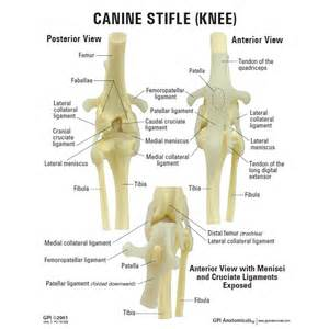 puncture wounds in the knee joint of canines picture 5