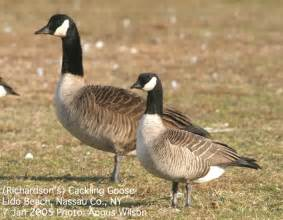 do geese have h picture 9