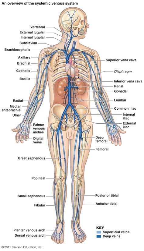 anatomy of skeletal muscle fiber picture 17