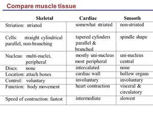 functions of smooth muscle picture 17