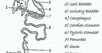 mammalian gastrointestinal tract picture 9