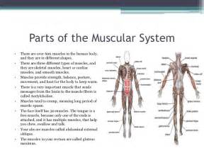 functions of muscle system picture 7