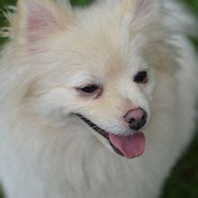 hypothyroidism in dogs and hair loss picture 10