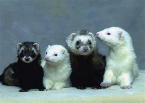ferrets sleeping picture 1