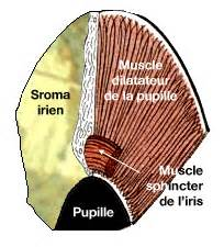 iflamation of the iris muscle picture 9