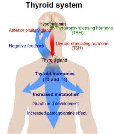 hypothyroid and the effects on heart.blood sugar picture 3