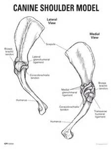 canine bicep joint picture 11