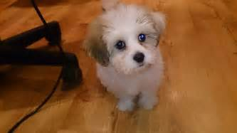 bichon frise hair styles picture 3