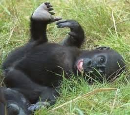gorillas penis picture 2
