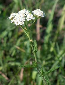 yarrow use picture 11