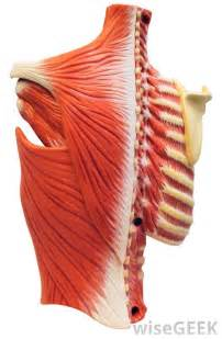 intercostal muscle pain picture 6