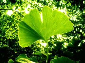 ginkgo biloba and weed picture 5
