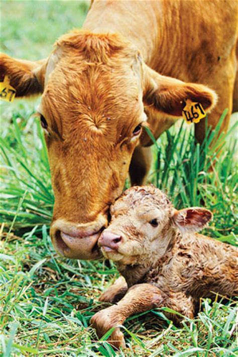 health needs of a calf picture 11
