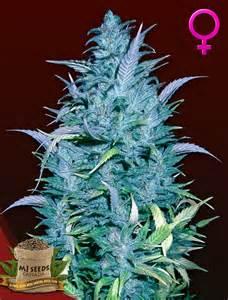echinacea feminization picture 1