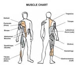 muscle chart picture 2