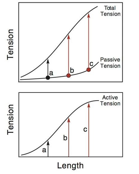 definition of passive muscle tension picture 18