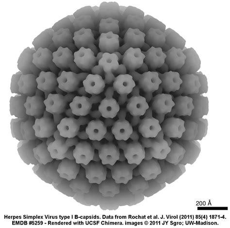 type 1 herpes simplex virus picture 5