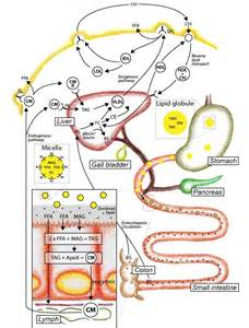 bile salts and weight loss picture 10