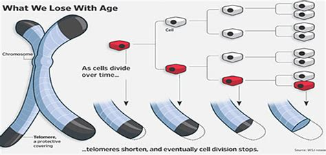 theory on aging of cells picture 2
