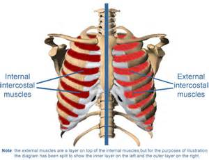intercostsal muscle strain picture 2