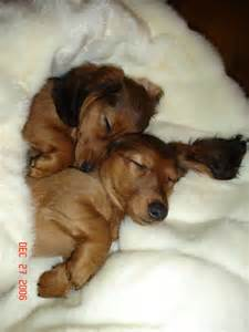 dachshund sleeping s picture 5