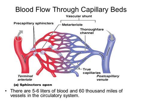 blood flow through capillaries picture 1