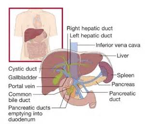 where is the liver located picture 14