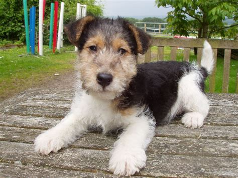 wire hair fox terriers picture 21