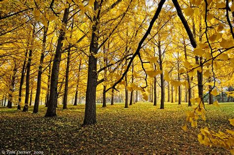 washington state ginkgo tree retailers picture 6