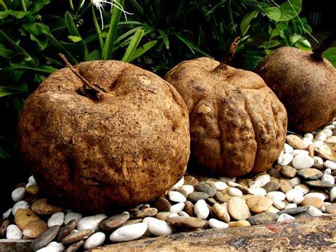 burdock root for breast enhancement picture 3