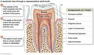 anatomy of the teeth picture 11