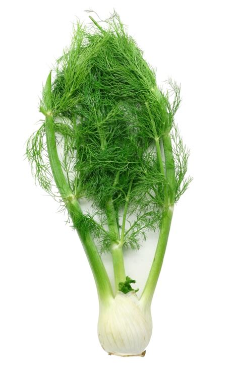 fennel picture 17