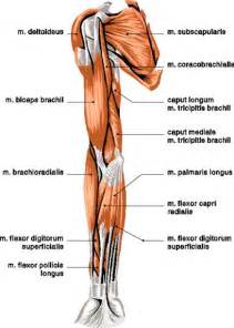 bicep muscle pain picture 3