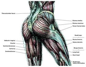 human muscle structure picture 7