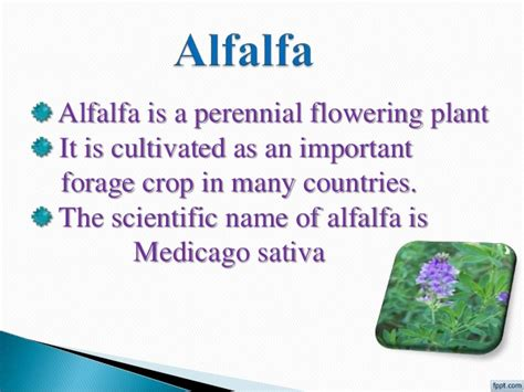 alfalfa blood cleanser picture 2