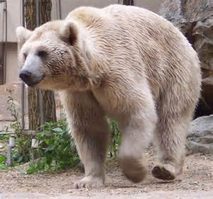 european muscle bears picture 15