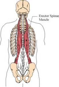 erector muscle group picture 1
