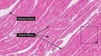 diagrams of skeletal muscle fiber picture 6