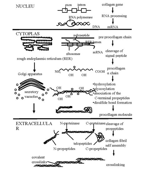 collagen synthesis picture 9