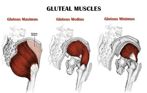 gluteous maximus muscle picture 14