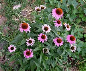 echinacea plants picture 3
