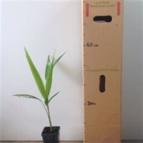 acai palms for sale picture 6