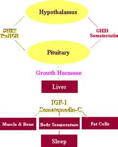 human growth hormone vs insulin picture 9